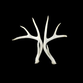 White Antlers